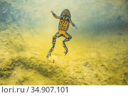 Yellow-bellied toad (Bombina variegata) underwater in Thurignin Canyon, Seran river. Alps, France, August. Стоковое фото, фотограф Remi Masson / Nature Picture Library / Фотобанк Лори