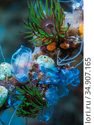 Colonial anemones (Amphianthus nitidus) and Sea squirts. Lembeh Srrait, North Sulawesi, Indonesia. Стоковое фото, фотограф Georgette Douwma / Nature Picture Library / Фотобанк Лори