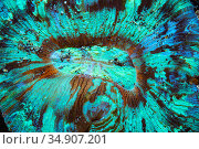 RF - Open brain coral (Trachyphyllia geoffroyi) lives in symbiosis with zooxanthellae which are responsible for nutrition and the vibrant colours. Lembeh... Стоковое фото, фотограф Georgette Douwma / Nature Picture Library / Фотобанк Лори