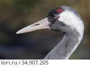 Common / Eurasian crane (Grus grus) blinking close up, with nictitating membrane covering the eye, captive, WWT Slimbridge, Gloucestershire, UK, February. Стоковое фото, фотограф Nick Upton / Nature Picture Library / Фотобанк Лори
