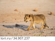 Lion (Panthera leo) cub, Kgalagadi Transfrontier Park, South Africa. Стоковое фото, фотограф Ann & Steve Toon / Nature Picture Library / Фотобанк Лори