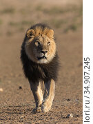 Lion (Panthera leo) with dark mane, Kgalagadi Transfrontier Park, South Africa. Стоковое фото, фотограф Ann & Steve Toon / Nature Picture Library / Фотобанк Лори