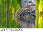 American Red squirrel (Tamiasciurus hudsonicus) on tree trunk drinking in a beaver pond. Acadia National Park, Maine, USA. Стоковое фото, фотограф George Sanker / Nature Picture Library / Фотобанк Лори