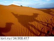 Dromedary trek in Eastern Morocco. Стоковое фото, фотограф Philippe Lissac / Godong / age Fotostock / Фотобанк Лори