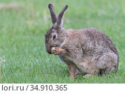 Rabbit (Oryctolagus cuniculus) washing face with front leg. Klein Schietveld, Brasschaat, Belgium. May. Стоковое фото, фотограф Bernard Castelein / Nature Picture Library / Фотобанк Лори