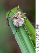 Nursery web spider (Pisaura mirabilis) female with egg sac. Brasschaat, Belgium. June. Стоковое фото, фотограф Bernard Castelein / Nature Picture Library / Фотобанк Лори