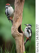 Great spotted woodpecker (Dendrocopus major), two on tree trunk, juvenile on left, adult female on right. Brasschaat, Belgium. June. Стоковое фото, фотограф Bernard Castelein / Nature Picture Library / Фотобанк Лори