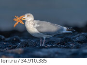 Herring gull (Larus argentatus) with Starfish prey in beak. Zeeland, The Netherlands. Стоковое фото, фотограф Bernard Castelein / Nature Picture Library / Фотобанк Лори