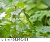 Чернильные орешки на листьях дуба (крупный план) Стоковое фото, фотограф E. O. / Фотобанк Лори