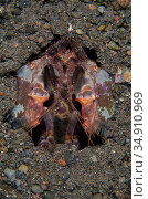 Lisa's Mantis Shrimp (Lysiosquillina lisa) in hole, Melasti dive ... Стоковое фото, фотограф Colin Marshall / age Fotostock / Фотобанк Лори