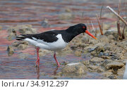 Oystercatcher (Haematopus ostralegus) wading in shallow water. Korpo, Aboland, Finland. May. Стоковое фото, фотограф Jussi Murtosaari / Nature Picture Library / Фотобанк Лори