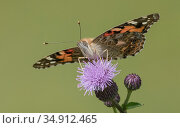 Painted lady (Vanessa cardui) butterfly nectaring on Thistle flower. Jyvaskyla, Central Finland. August. Стоковое фото, фотограф Jussi Murtosaari / Nature Picture Library / Фотобанк Лори