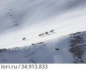 Группа горных баранов аргали поднимается по заснеженному горному склону. Стоковое фото, фотограф Олег Елагин / Фотобанк Лори