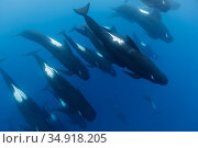 Long-finned pilot whales (Globicephala melas) offshore, Northern New Zealand. Editorial use only. Редакционное фото, фотограф Richard Robinson / Nature Picture Library / Фотобанк Лори
