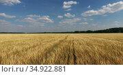 Flying over wheat field. Ears of golden wheat are on foreground close up. Beautiful nature landscape with horizon. Стоковое видео, видеограф Кекяляйнен Андрей / Фотобанк Лори