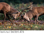 Red Deer (Cervus elaphus) stags figting during the rutting season... Стоковое фото, фотограф Tony Heald / Nature Picture Library / Фотобанк Лори