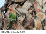 Rosey-faced lovebird, Mesa, Arizona. Стоковое фото, фотограф Alexandra Buxbaum / age Fotostock / Фотобанк Лори
