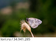 The butterfly (Melanargia galathea) close-up. Стоковое фото, фотограф Татьяна Ляпи / Фотобанк Лори