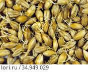 Barley (Hordeum vulgare) grain during malting process, seeds drying after germination. Sequence 5/7. Стоковое фото, фотограф Nigel Cattlin / Nature Picture Library / Фотобанк Лори