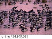 Barnacle goose (Branta leucopsis) flock standing in lake. Hjalstaviken nature reserve, Uppland, Sweden. October. Стоковое фото, фотограф Staffan Widstrand / Nature Picture Library / Фотобанк Лори