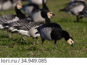 Barnacle goose (Branta leucopsis) flock feeding in grassland. Hjalstaviken nature reserve, Uppland, Sweden. October. Стоковое фото, фотограф Staffan Widstrand / Nature Picture Library / Фотобанк Лори