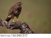 Common buzzard (Buteo buteo) standing on branch. Calera y Chozas, Castile-La Mancha, Spain. December. Стоковое фото, фотограф Staffan Widstrand / Nature Picture Library / Фотобанк Лори