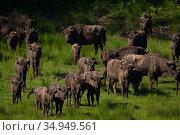 RF - European bison (Bison bonasus) herd. Eriksberg Wildlife and Nature... Стоковое фото, фотограф Staffan Widstrand / Nature Picture Library / Фотобанк Лори