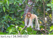 Proboscis monkey (Nasalis larvatus) sub-adult standing on all-fours in tree. Tanjung Puting National Park, Indonesia. Стоковое фото, фотограф Suzi Eszterhas / Nature Picture Library / Фотобанк Лори