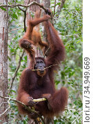 Bornean orangutan (Pongo pygmaeus) female sitting in tree with playing baby aged two years. Tanjung Puting National Park, Indonesia. Стоковое фото, фотограф Suzi Eszterhas / Nature Picture Library / Фотобанк Лори
