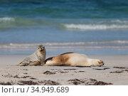 Australian sealion (Neophoca cinerea) female and pup on beach. Kangaroo Island, South Australia. October. Стоковое фото, фотограф Suzi Eszterhas / Nature Picture Library / Фотобанк Лори