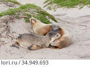 Australian sea lion (Neophoca cinerea) female suckling pup on beach. Kangaroo Island, South Australia. November. Стоковое фото, фотограф Suzi Eszterhas / Nature Picture Library / Фотобанк Лори