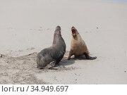 Australian sealion (Neophoca cinerea), two males sparring on beach. Kangaroo Island, South Australia. November. Стоковое фото, фотограф Suzi Eszterhas / Nature Picture Library / Фотобанк Лори