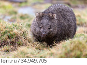 Common wombat (Vombatus ursinus) feeding. Cradle Mountain National Park, Tasmania, Australia. Стоковое фото, фотограф Suzi Eszterhas / Nature Picture Library / Фотобанк Лори
