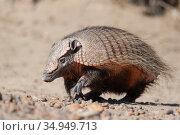 Hairy armadillo (Chaetophractus villosus). Valdes Peninsula, Patagonia, Argentina. April. Стоковое фото, фотограф Suzi Eszterhas / Nature Picture Library / Фотобанк Лори