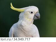 Sulphur-crested cockatoo (Cacatua galerita) portrait. Brisbane, Queensland, Australia. Стоковое фото, фотограф Suzi Eszterhas / Nature Picture Library / Фотобанк Лори