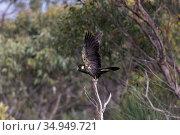 Yellow-tailed black cockatoo (Calyptorhynchus funereus) taking off from tree snag. Kangaroo Island, South Australia. Стоковое фото, фотограф Suzi Eszterhas / Nature Picture Library / Фотобанк Лори