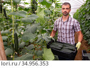 Farmer carrying box with picked cucumbers in greenhouse. Стоковое фото, фотограф Яков Филимонов / Фотобанк Лори