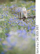 Barn owl (Tyto alba) perched in Cornflower (Centaurea cyanus) meadow. Gloucestershire, England, UK. Captive. Стоковое фото, фотограф Guy Edwardes / Nature Picture Library / Фотобанк Лори