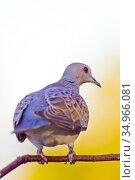 Collared Dove, Streptopelia turtur, Tórtola Común, Castilla y León... Стоковое фото, фотограф Alberto Carrera Anaya / easy Fotostock / Фотобанк Лори