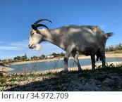 Портрет домашней козы в полупрофиль. Стоковое фото, фотограф Кузнецов Максим / Фотобанк Лори