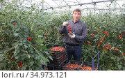 Portrait of smiling horticulturist harvesting ripe red tomatoes in farm hothouse. Стоковое видео, видеограф Яков Филимонов / Фотобанк Лори