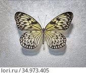 Tropical butterfly Idea white Idea leuconoe lat. Стоковое фото, фотограф Galina Tolochko / Фотобанк Лори