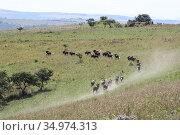 Wild animals black wildebeest run through grassy areas in Africa (2009 год). Стоковое фото, фотограф Олег Елагин / Фотобанк Лори