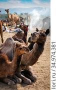 Camels at Pushkar Mel (Pushkar Camel Fair) in Pushkar, Rajasthan, India (2012 год). Стоковое фото, фотограф photoff / Фотобанк Лори