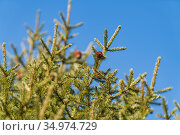 Natural evergreen branches with cones of Christmas tree in pine forest on background blue sky on sunny day. Стоковое фото, фотограф А. А. Пирагис / Фотобанк Лори