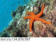 Smooth Starfish, Hacelia attenuata, Cabo Cope-Puntas del Calnegre... Стоковое фото, фотограф Alberto Carrera Anaya / easy Fotostock / Фотобанк Лори