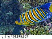 Regal Angelfish, Royal Angelfish, Blue-Banded Angelfish, Pygoplites... Стоковое фото, фотограф Alberto Carrera Anaya / easy Fotostock / Фотобанк Лори