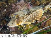 Pipper fish, Trigla lyra, Cabo Cope-Puntas del Calnegre Natural Park... Стоковое фото, фотограф Alberto Carrera Anaya / easy Fotostock / Фотобанк Лори
