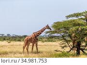 A Somalia giraffes eat the leaves of acacia trees. Стоковое фото, фотограф Eugen Haag / easy Fotostock / Фотобанк Лори