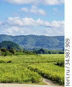Sugar Cane Field near Appleton Estate Rum Factory, Nassau Valley, ... Стоковое фото, фотограф Karol Kozlowski / age Fotostock / Фотобанк Лори